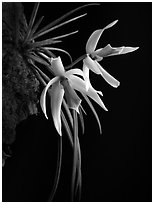 Leptotes bicolor. A species orchid (black and white)