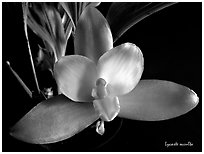 Lycaste occulta. A species orchid (black and white)