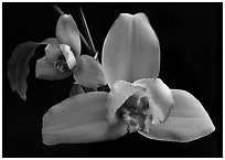 Lycaste skinneri 'Rubrorosea'. A species orchid ( black and white)
