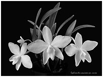 Sophronitis coccinea v. aurea. A species orchid (black and white)