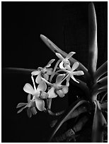 Vanda parviflora. A species orchid (black and white)