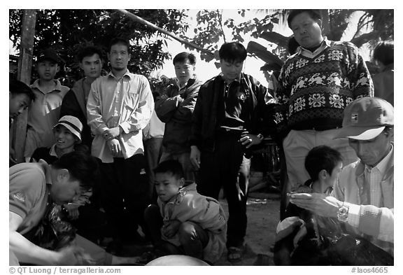 Coaches take care of wounded roosters after fighting. Luang Prabang, Laos (black and white)
