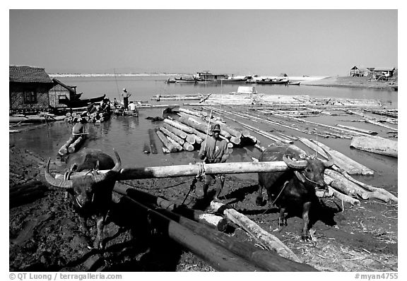 Water buffalo hauling trunks on the Ayeyarwadi river. Mandalay, Myanmar (black and white)