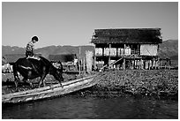 Boy on Water buffalo near the canal at Nyaungshwe. Inle Lake, Myanmar (black and white)