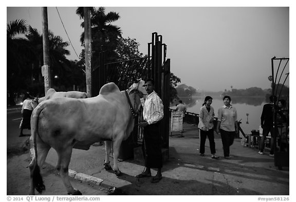 Man with ox and women walking at twilight on Kandawgyi lakeshore. Yangon, Myanmar (black and white)