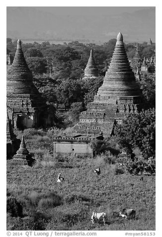 Peasant and ox in field below pagodas. Bagan, Myanmar (black and white)