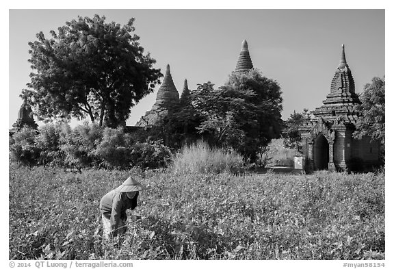 Woman harvesting beans with backdrop of pagodas. Bagan, Myanmar (black and white)