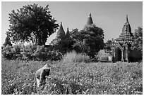 Woman harvesting beans with backdrop of pagodas. Bagan, Myanmar ( black and white)