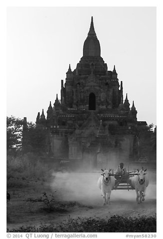 Ox cart riding in front of Tayok Pye temple. Bagan, Myanmar (black and white)