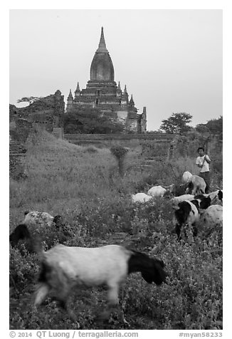 Child herding sheep in front of temple, Minnanthu village. Bagan, Myanmar (black and white)