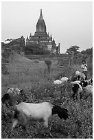 Child herding sheep in front of temple, Minnanthu village. Bagan, Myanmar ( black and white)