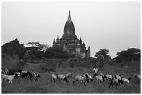 Sheep herding at sunset, Minnanthu village. Bagan, Myanmar ( black and white)