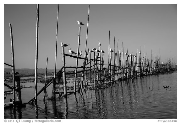 Birds perched on fence. Inle Lake, Myanmar (black and white)