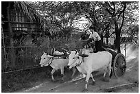 Man riding ox cart, Mingun village. Bagan, Myanmar ( black and white)