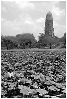 Lotus pond and  corn-shaped chedi. Ayuthaya, Thailand (black and white)