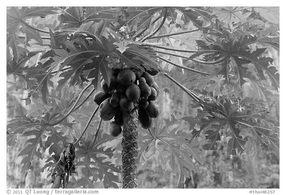 Palm tree with coconuts, Railay East. Krabi Province, Thailand (black and white)