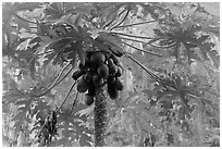 Palm tree with coconuts, Railay East. Krabi Province, Thailand ( black and white)