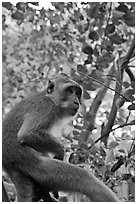Monkey, Railay. Krabi Province, Thailand (black and white)