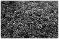 Hillside with tropical vegetation and palm trees, Phi-Phi island. Krabi Province, Thailand (black and white)