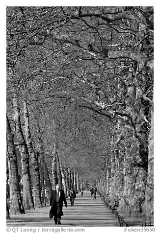 Businessman walking in an alley of James Park with bare trees. London, England, United Kingdom (black and white)