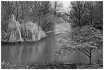Weeping Willow and Plum blossom,  Saint James Park. London, England, United Kingdom (black and white)
