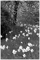 Daffodills and tree in bloom, Greenwich Park. Greenwich, London, England, United Kingdom ( black and white)