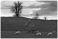 Sheep, standing stone, and hill at sunset, Avebury, Wiltshire. England, United Kingdom (black and white)