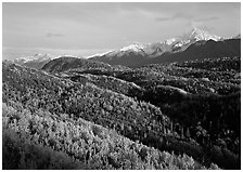Aspens in fall colors and Chugach mountain, late afternoons. Alaska, USA (black and white)
