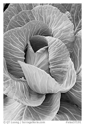 Giant cabbage detail. Anchorage, Alaska, USA (black and white)