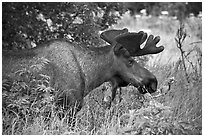 Bull moose, Earthquake Park. Anchorage, Alaska, USA (black and white)