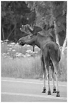 Bull moose on roadway, Earthquake Park. Anchorage, Alaska, USA (black and white)