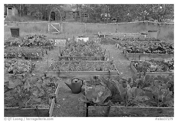 Vegetable garden. McCarthy, Alaska, USA (black and white)