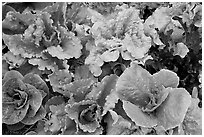 Close-up of lettuce grown in vegetable garden. McCarthy, Alaska, USA (black and white)