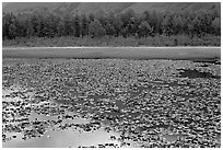 Lilly pond. Alaska, USA (black and white)