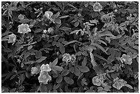 Wild Roses in bloom. Alaska, USA (black and white)