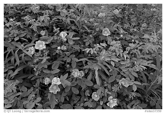 Wild Roses bush. Alaska, USA (black and white)
