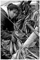 Inupiaq Eskimo woman hanging fish for drying, Ambler. North Western Alaska, USA (black and white)