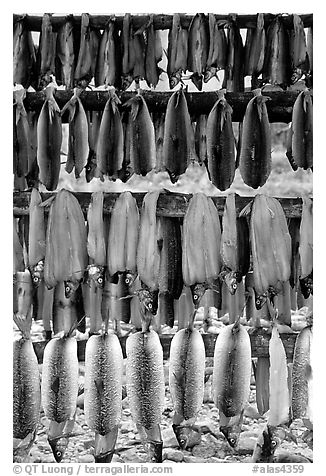 Drying whitefish, Ambler. North Western Alaska, USA (black and white)