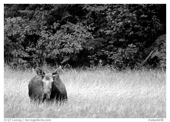Cow Moose, Kenai Peninsula. Alaska, USA (black and white)