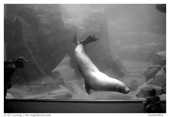 Baby interacting with the northern sea lion, Alaska Sealife center. Seward, Alaska, USA (black and white)