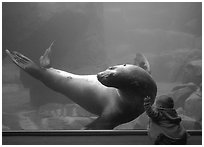 Northern Sea Lion interacting with baby, Alaska Sealife center. Seward, Alaska, USA (black and white)