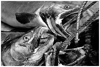 Salmon freshly caught. Homer, Alaska, USA ( black and white)
