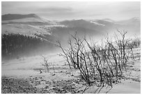 Bare shrubs and spindrift, Twelve Mile Summmit. Alaska, USA (black and white)