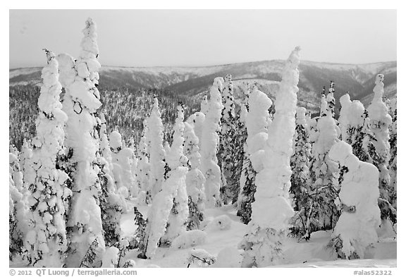 Forest plastered in snow. Alaska, USA (black and white)
