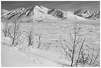 Shrubs and Arctic Mountains in winter. Alaska, USA ( black and white)