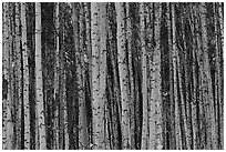 Bare aspen tree trunks. Alaska, USA ( black and white)
