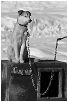 Husky dog sitting on doghouse. North Pole, Alaska, USA (black and white)