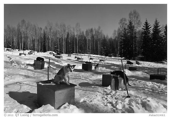 Dogs at mushing camp in winter. North Pole, Alaska, USA (black and white)