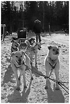 Sled dogs. Chena Hot Springs, Alaska, USA (black and white)