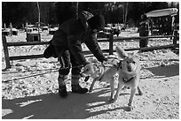 Musher attaching dogs. Chena Hot Springs, Alaska, USA (black and white)